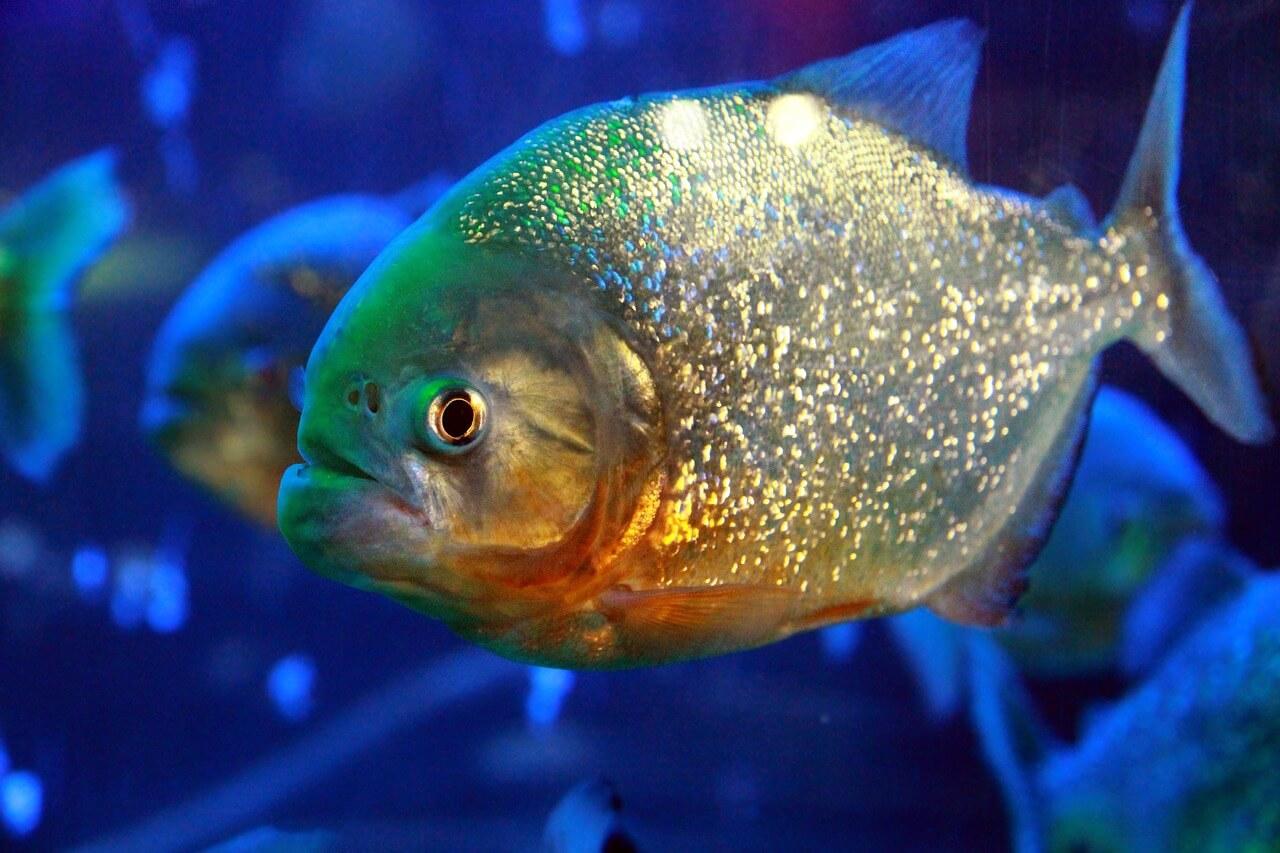 سمك البيرانا : الموطن والنظام الغذائي والسلوك
