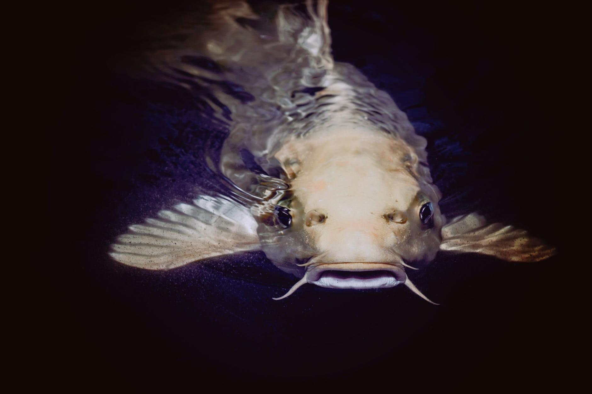 سمك السلور: وصف و معلومات مثيرة للاهتمام