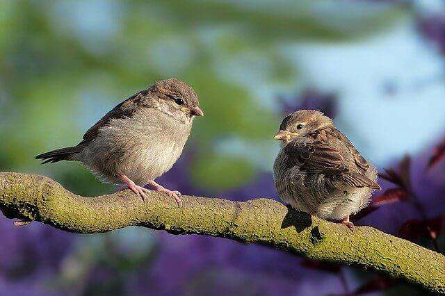 Yeast infection in birds