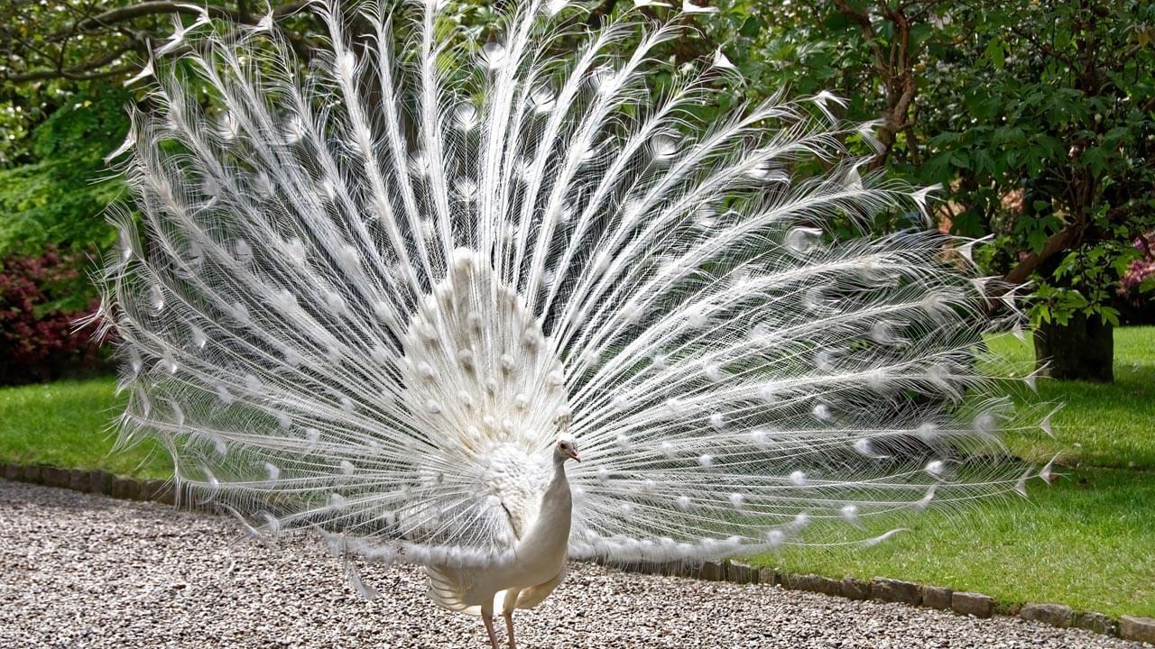 الطاووس الأبيض : الخصائص والاحتياجات ونصائح التربية