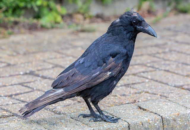 عدوى فيروس الجدري في الطيور وكيفية الوقاية منها