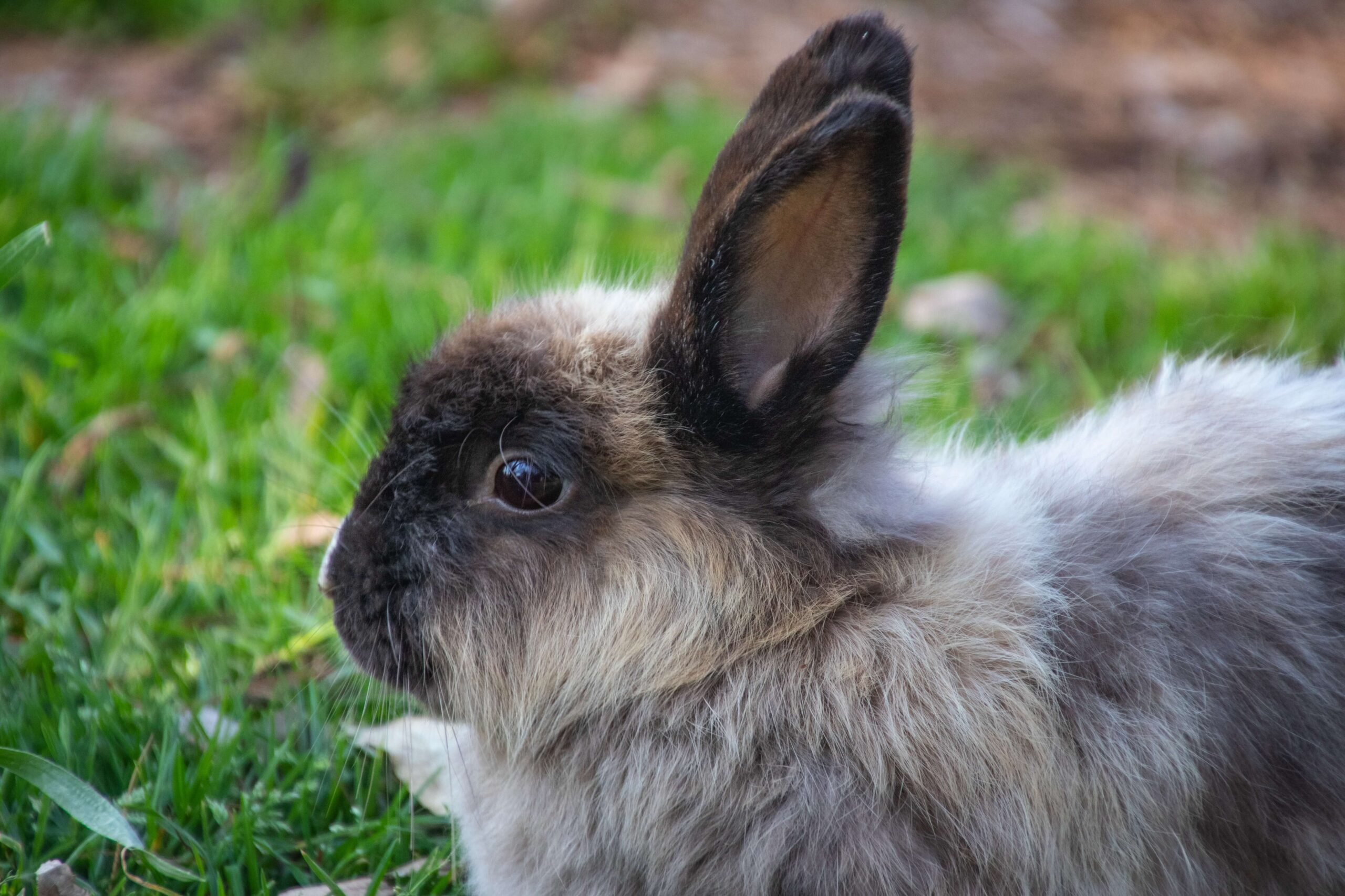 نزيف من أنف للأرانب