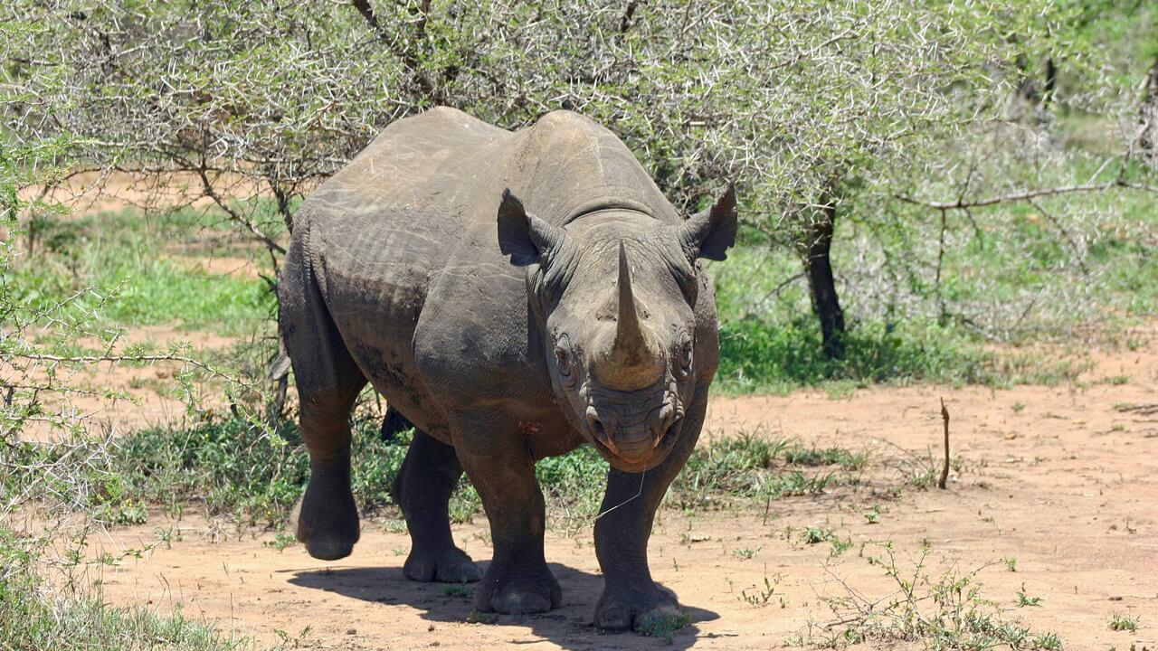 كل ما يخص وحيد القرن الأسود