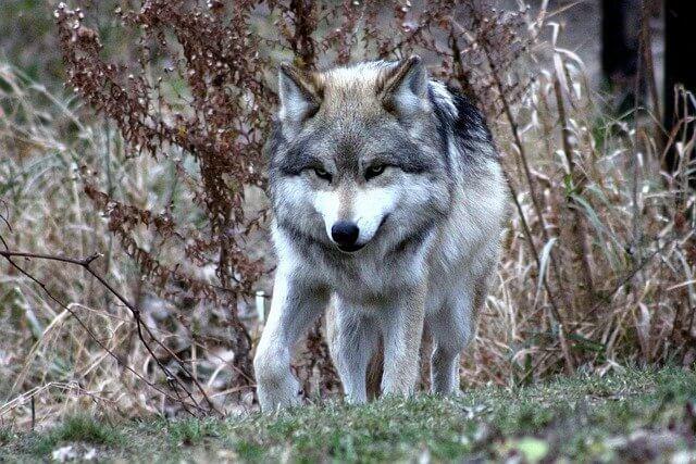 كل ما يخص الذئب المكسيكي