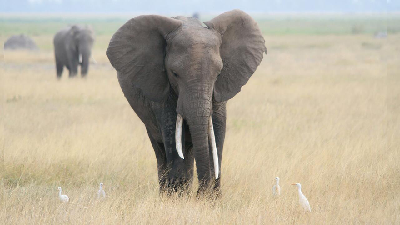 الفيل الإفريقي