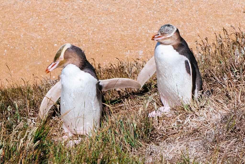 البطريق أصفر العينين : الخصائص والتكاثر والسلوك