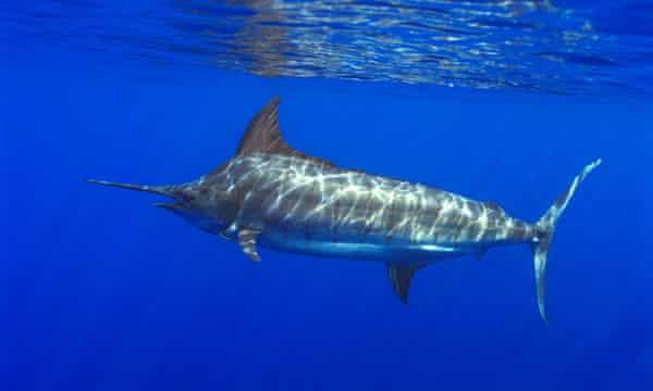 سمك المارلين الأزرق : الوصف والنظام الغذائي والسلوك