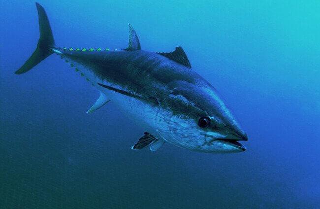 وصف ومعلومات مثيرة عن التونة ذات الزعانف الزرقاء