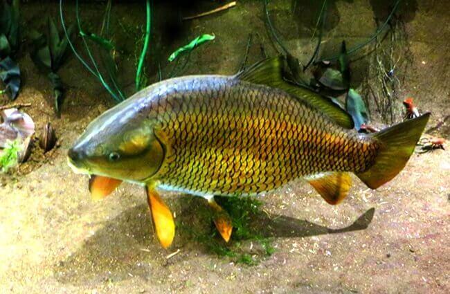 أسماك الجاموس : الوصف والنظام الغذائي والسلوك