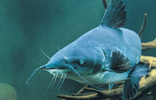 معلومات و حقائق عن سمك السلور الأزرق