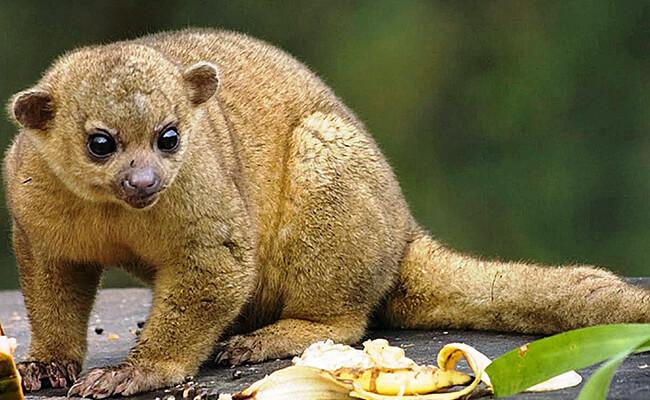 كنكاج : حيوان ثديي شجري صغير بعيون كبيرة
