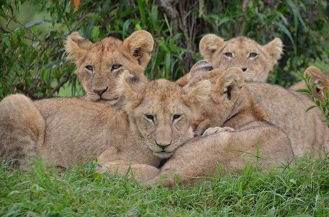 cubs lions