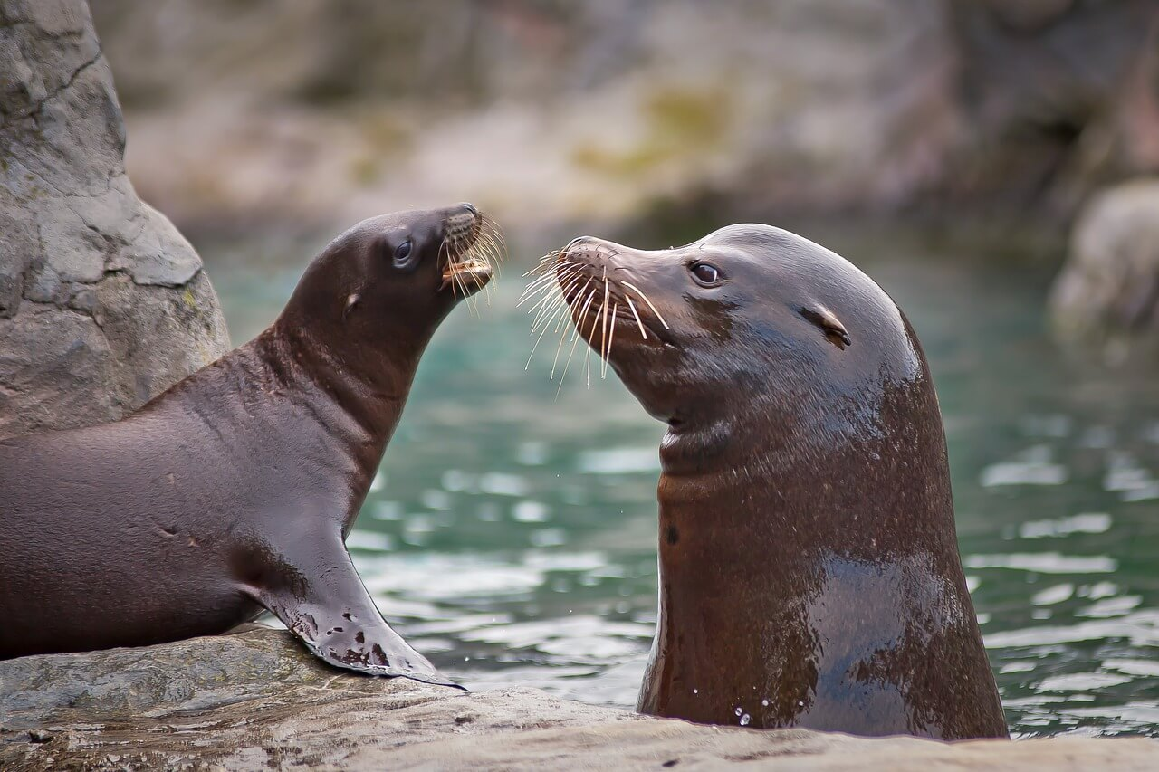 أسد البحر : الخصائص والسلوك والتكاثر