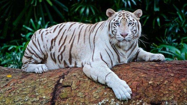 النمر البنغال الأبيض