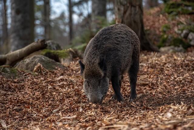 الخنزير البري : الخصائص والسلوك والتاريخ