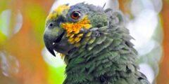 حقائق مثيرة للاهتمام حول ببغاء الأمازون