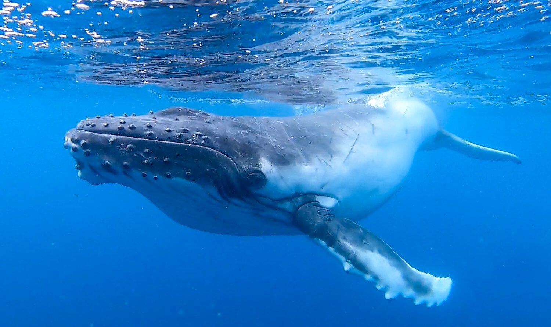 معلومات مثيرة عن الحوت الأحدب