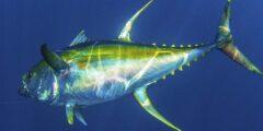 معلومات وحقائق عن التونة ذات الزعانف الصفراء