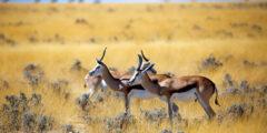 une gazelle et une antilope