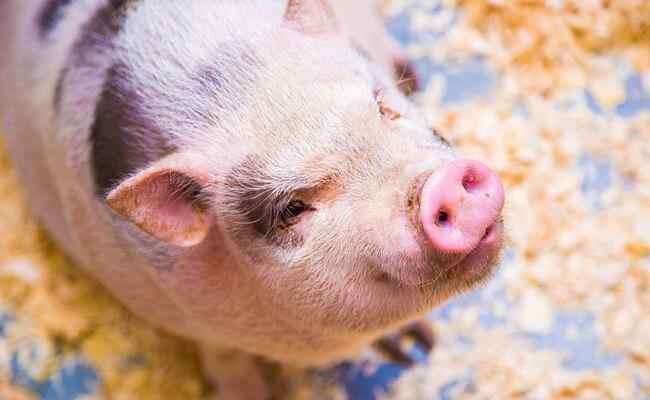 كيف تولد الخنزير القزم ؟ النصائح والممارسات الجيدة