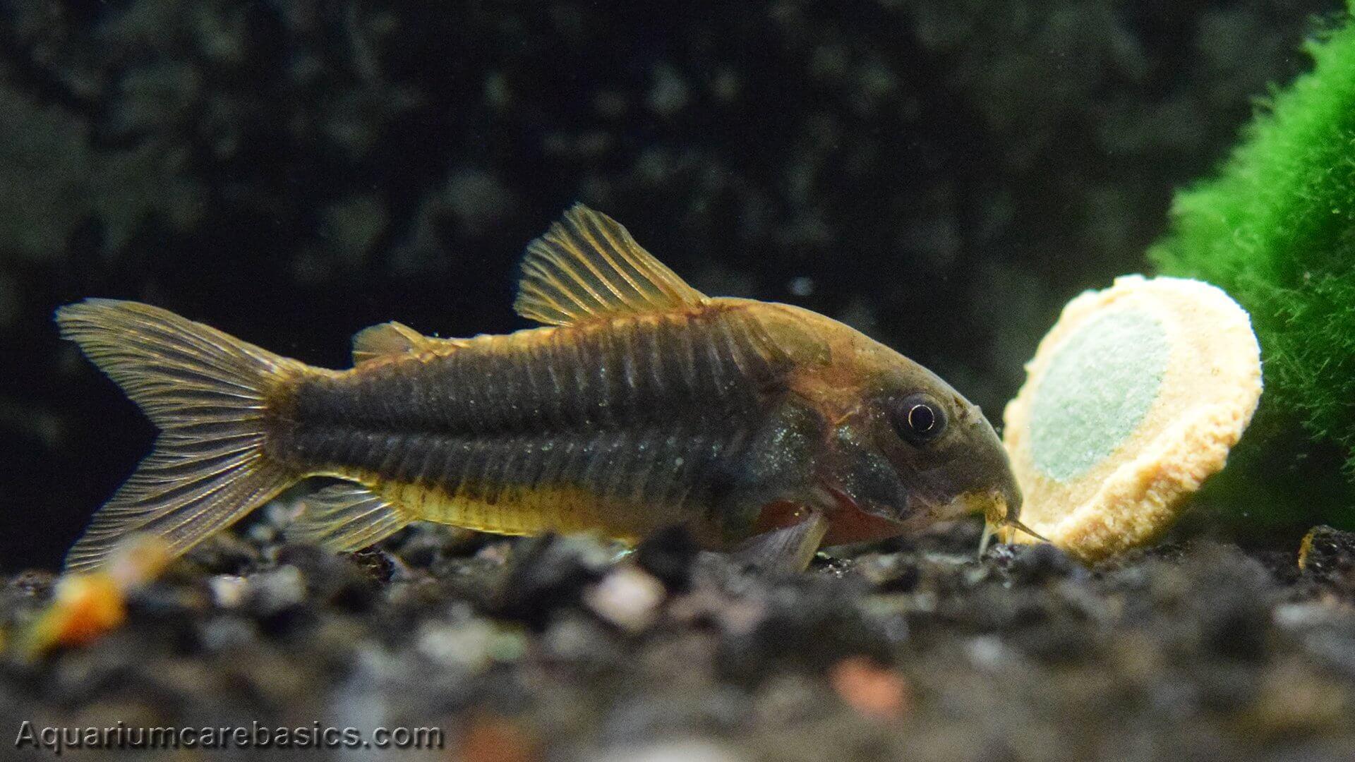 معلومات مثيرة عن سمك السلور الكوري
