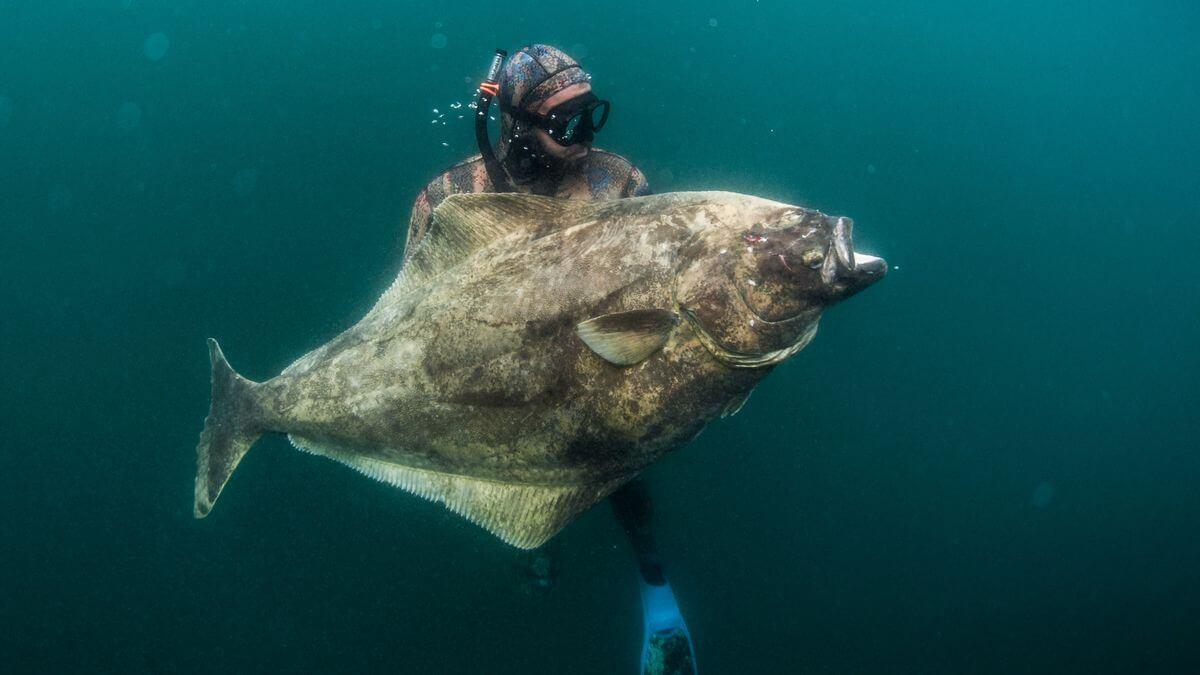 معلومات وحقائق مثيرة عن سمك الهلبوت