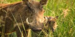 الخنزير البري من السافانا الأفريقية