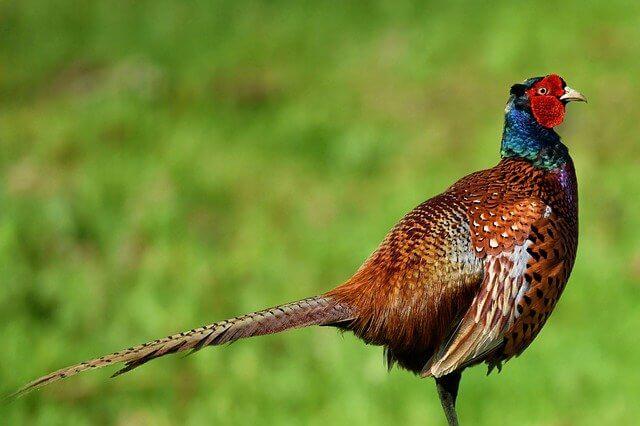 الدراج : الدجاجة البرية ذات الريش الرائع