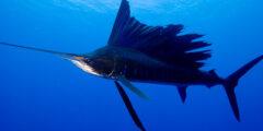 معلومات مثيرة عن سمكة ابو شراع