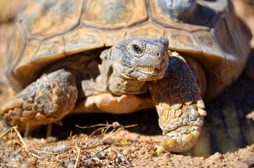 سلحفاة الصحراء : الخصائص والسلوك والنظام الغذائي