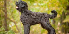 كلب الترير الروسي الأسود