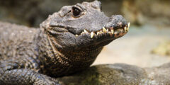 التمساح القزم : الوصف والنظام الغذائي والسلوك