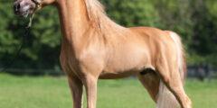 الحصان الأمريكي القزم