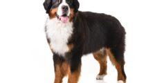 معلومات عن كلب جبل البرنيز