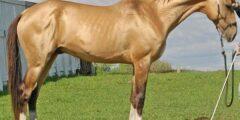 حصان أكحل تيكي