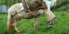 حصان الألباني