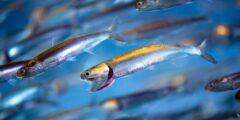 حقائق مثيرة عن سمك الأنشوجة