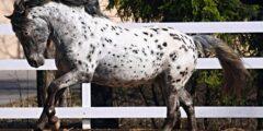 سلالة خيول Altai