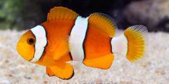 معلومات عن سمكة المهرج البرتقالية Clownfish واهم صفاتها