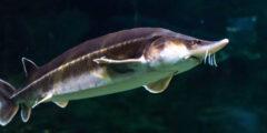 معلومات عن سمك الحفش بيلوجا