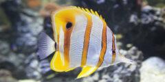 معلومات وحقائق عن سمكة الفراشة