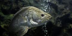 وصف ومعلومات عن سمك الباراموندي
