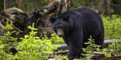 حقائق مثيرة للاهتمام حول الدب الأسود