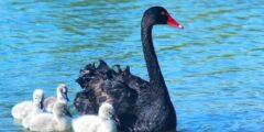 البجعة السوداء