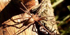 معلومات عن  العنكبوت البني : براون الناسك