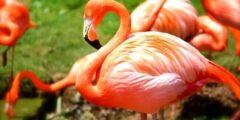 طائر الفلامنغو الوردي احد اجمل الطيور في العالم