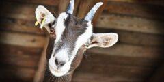 معلومات مثيرة للاهتمام حول الماعز
