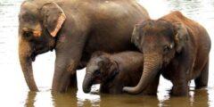 حقائق مثيرة للاهتمام حول الفيل الآسيوي
