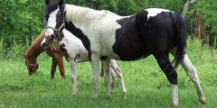 الحصان الأمريكي الهندي
