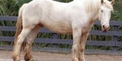 حصان الجر الأمريكي كريم